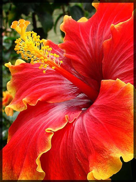 hawaiian yellow hibiscus orange yellow hibiscus hibiscus tanah rata malaysia photography flowers