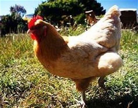 alimentazione naturale galline ovaiole allevamento polli da carne galline