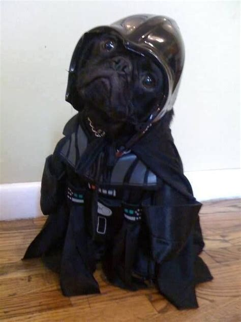 pug wars wars pug cuties darth vader and so