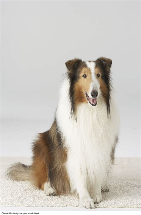 lassie puppies the that played lassie america comes alive