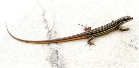 australian backyard lizards australian backyard lizards 17 images craig 39 s