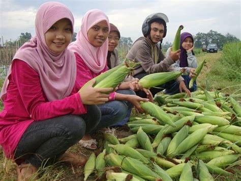 Benih Jagung Manis Hibrida ugm gandeng perusahaan benih kembangkan jagung manis hibrida
