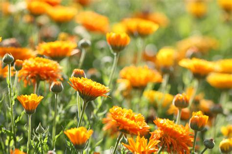 fiori a settembre 5 fiori da piantare a settembre fito