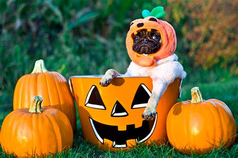 pumpkin pug pumpkin pug photo and wallpaper beautiful pumpkin pug pictures