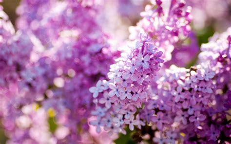 1440x900 kr best wallpaper net 라일락 봄 꽃 클로즈업 꽃 배경 화면 1440x900 배경 화면 다운로드 kr best