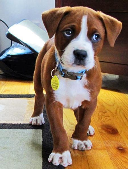 boxer mix puppy boxer mix on animal shelter pet care and pit bull mix