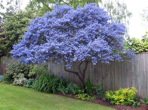 narrow flowering shrubs ceanothus flowering evergreen grown as a tree