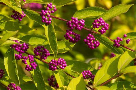 liebesperlenstrauch giftig liebesperlenstrauch callicarpa giraldii pflanzen
