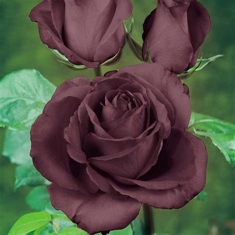 rose can how to grow the black rose the garden of eaden