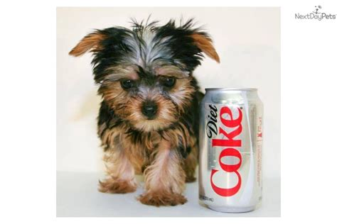 grown yorkies grown korgie dogs breeds picture