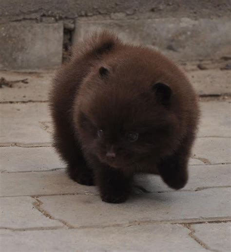 chocolate pomeranian puppy chocolate pom puppy looks like a cub to me pomeranians brown