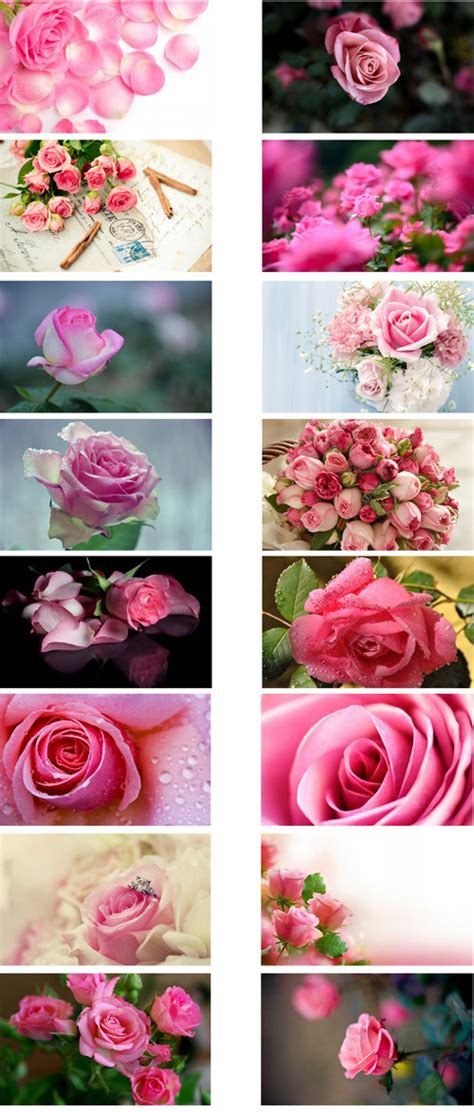 pink rose themes mobile9 pink roses flowers theme for windows 7 and 8 ouo themes