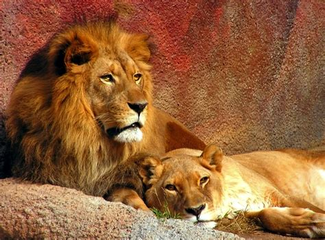 film of lion beautiful animals safaris amazing lions big cats africa