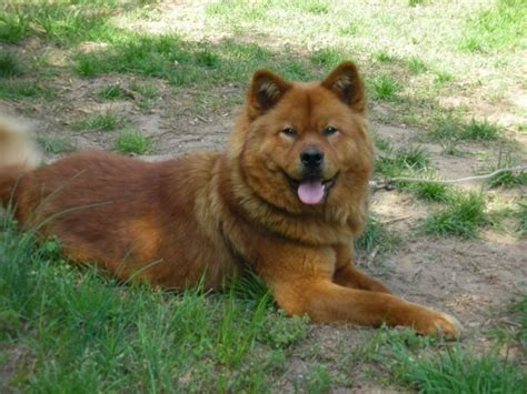chow chow mix puppies akita chow akita x chow mix info temperament puppies pictures