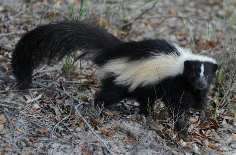 How Do You Get Rid Of Skunks A Shed by The Metropolitan Field Guide On Being Misunderstood