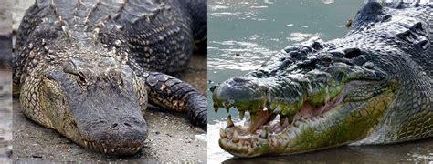 hocico de cocodrilo en cartulina animals of the world caiman vs cocodrilo