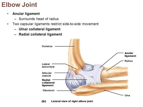 Similiar Capsular Ligament Elbow Keywords