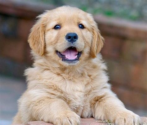 golden retriever puppy not 1000 ideas about golden retrievers on golden retriever puppies dogs