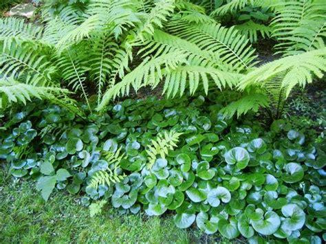 Farn Garten Pflanzen by Haselwurz Und Farne Im Schattengarten Garten Pflanzen