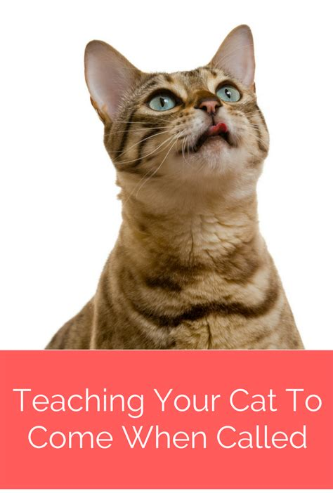 how can i my to come when called cats 5 tips to teach cats to come when called fully feline
