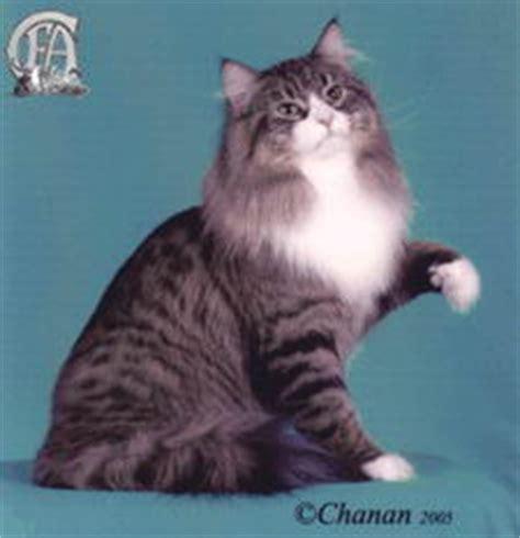 Sho Kucing Anti Rontok forest cat kucingkita