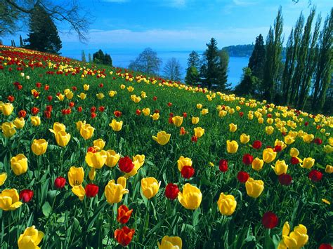 field of tulips germany wallpapers hd wallpapers
