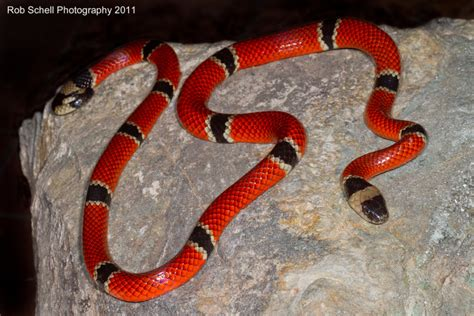 color pattern of coral snake mu peter warning colors part 2 evolutionary explanations