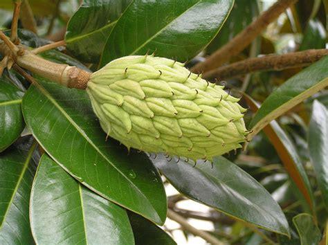 image gallery magnolia seeds