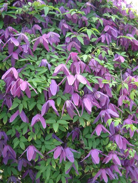 climbing plants shade loving 17 best images about shrubs on sun perennials