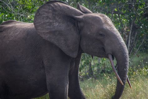 an forest elephant returns from the in gabon loango lodge and national park the road chose me