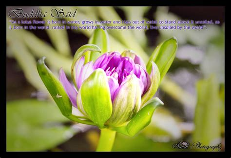 lotus flower buddha quotes quotesgram