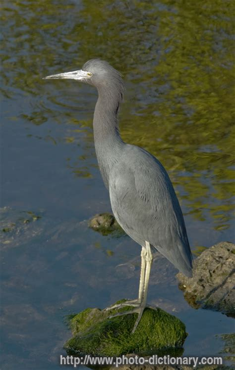 heron meaning blue heron photo picture definition at photo dictionary
