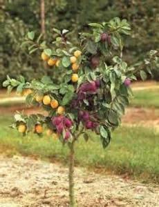splicing fruit trees grafting