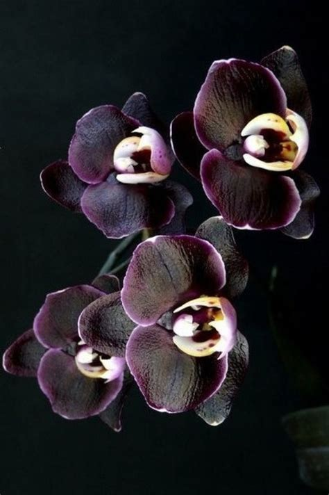 The Black Orchid best 20 black orchid ideas on