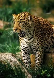 Do Jaguars Live In The Tropical Rainforest Jaguar