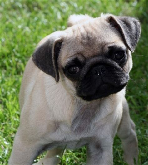 pug quiz in which country are pugs known as quot carlin quot the pugs trivia quiz fanpop