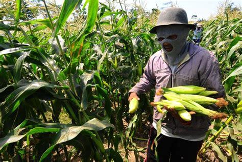 Benih Jagung Manis benih jagung manis jadi primadona industri pertanian