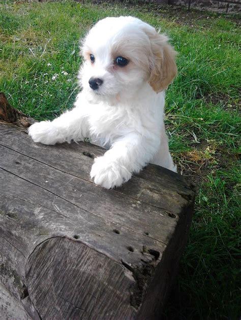 cavachon puppy cavachon puppy squeeee puppys