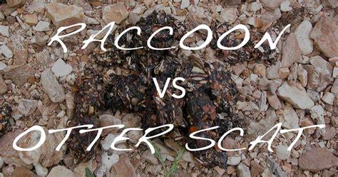raccoon poop in backyard distinguishing raccoon from otter scat naturetracking