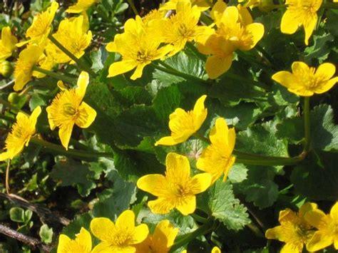 significato fiori calla significato calla significato fiori linguaggio dei fiori