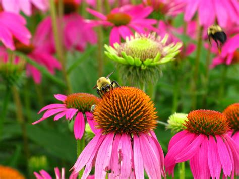 flowers for flower lovers cone flowers pictures