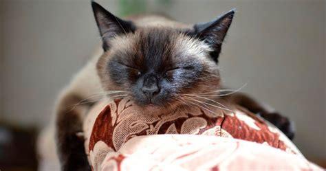gatto siamese alimentazione di quali cure ha bisogno un gatto siamese sepicat