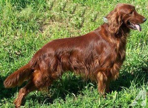 irish setter show dogs for sale gorgeous akc irish setter puppies for adoption when 8