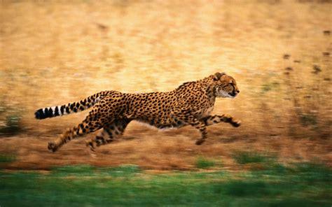 imagenes para fondo de pantalla leopardos leopardo corriendo hd 1680x1050 imagenes wallpapers