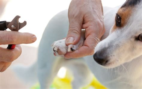 clipping puppy nails learn to clip your s nails and not its trust toronto