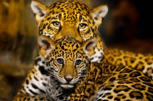 Show Me Pictures Of Jaguars Jaguar Bebe Daily Show