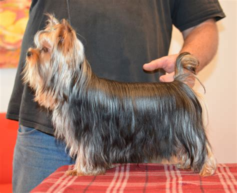 pictures of boy yorkies yorkie terrier newhairstylesformen2014