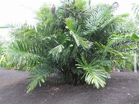 Usda Home Search plantfiles pictures philippine dwarf sugar palm arenga