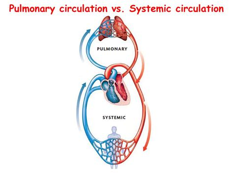 pulmonary circulation diagram the circulatory system ppt