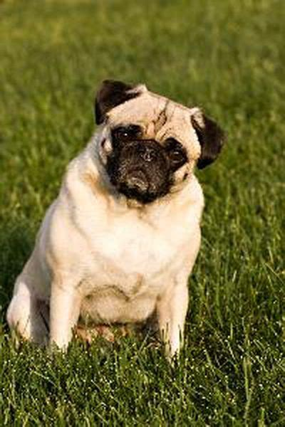 pug hybrid breeds information on the pug zu mixed breed pets